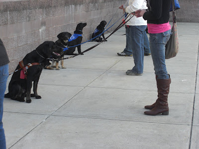 Picture of Rudy (and other pups beside him) doing a sit-stay, all the raiser's are at the end of the leash - in front of the dogs (including me)