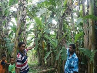 Pokok pisang bersaiz gergasi