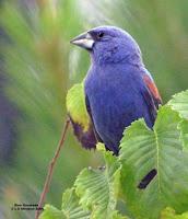 Blue Grosling