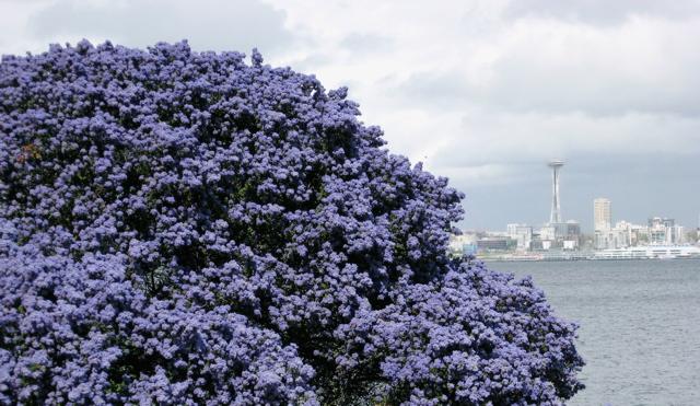 Seattle garden ideas ceanothus for Purple flower shrub california