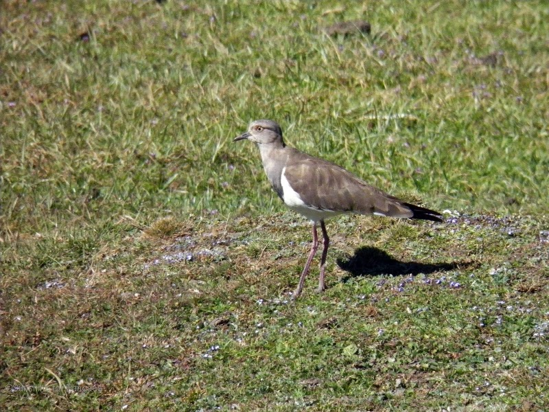 Black-winged Lapwing in the Bale Mountains