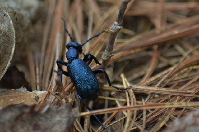 Oil Beetle (Meloe)