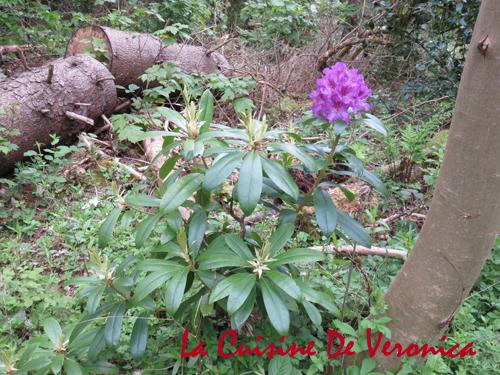 北美杜鵑 Rhododendron