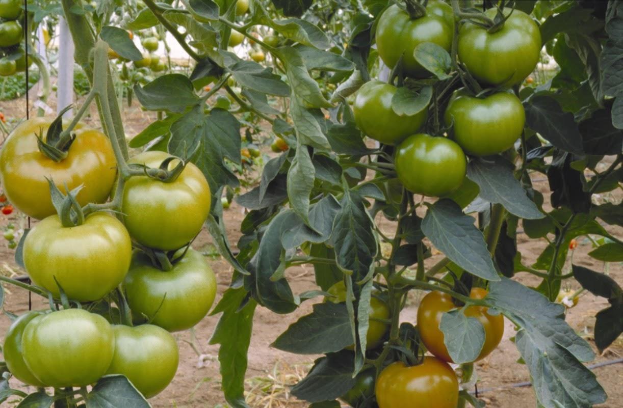 Las hormonas vegetales biolog a for Hormonas en las plantas