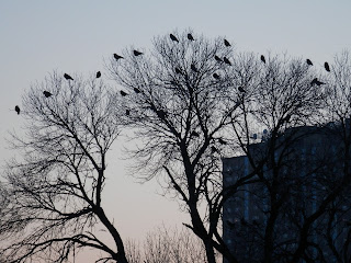 American Crows at Holy Sepulchure Cemetery; Feb 2013