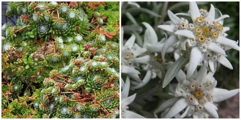 spindelvævshusløg, edelweiss