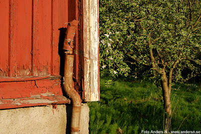 en röd liten stuga, röd stuga med vita knutar, blommande fruktträd, äppelträd, kvällsljus, svensk idyll, svensk sommarstuga, sommarkväll, vårkväll, foto anders n