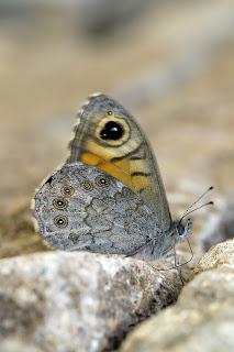 Para ampliar Lasiommata maera (Linnaeus, 1758) hacer clic