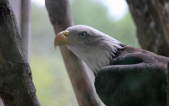 bald eagle maine wildlife park