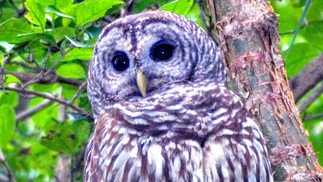 Barred Owls Amazing Hooting Contest