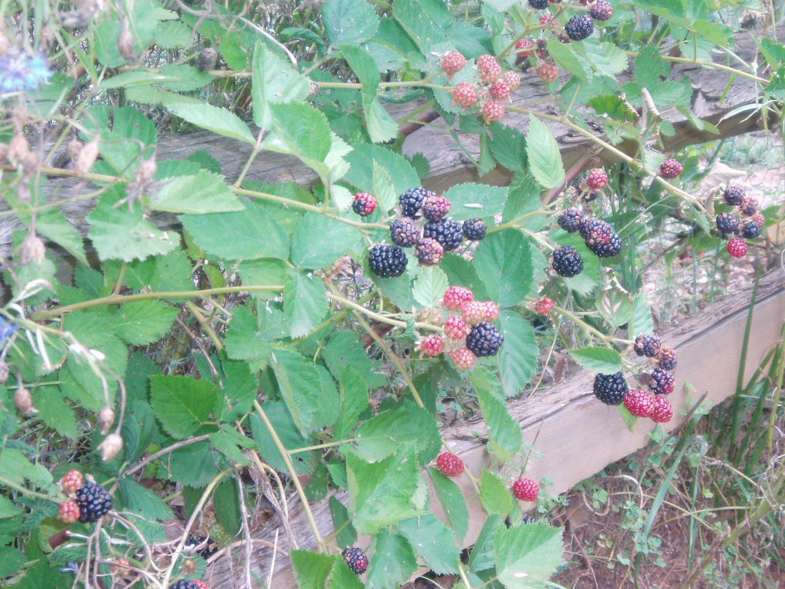 Blackberry Brambles Heavy with Fruit