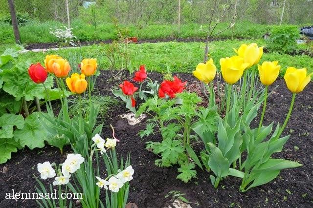 сорта тюльпанов, тюльпан, аленин сад, весенние луковичные, желтые тюльпаны, красные тюльпаны, оранжевые тюльпаны, гигантский тюльпан, нарциссы