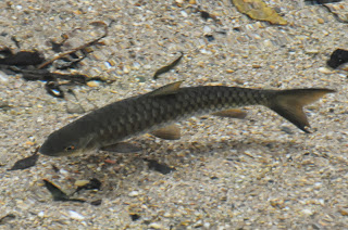 Sultan fish (Leptobarbus hoevenii) or Malaysian Mahseer (Tor tamroides)
