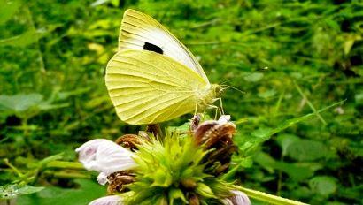 Inventario de Fauna - Mariposa