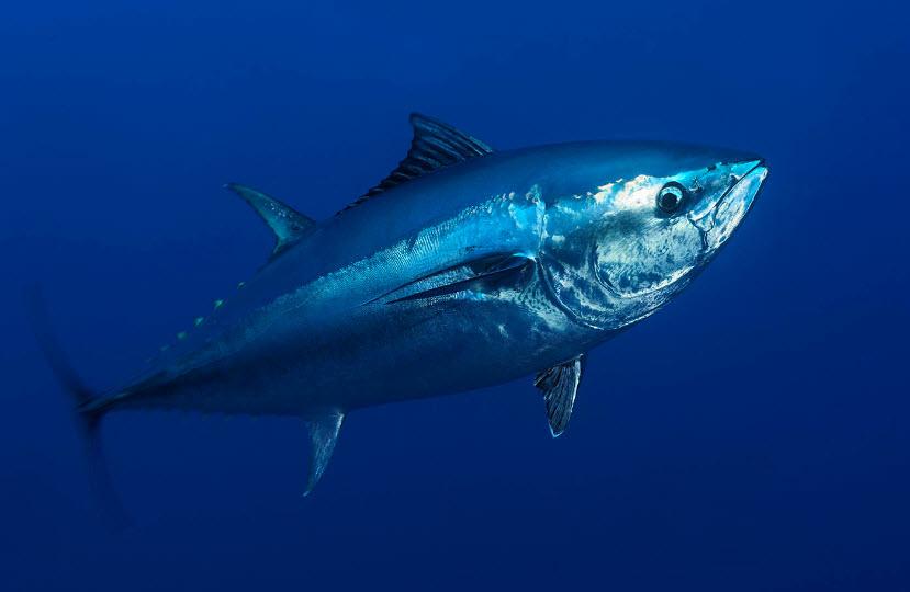 Atlantic Bluefin Tuna The Biggest Animals Kingdom