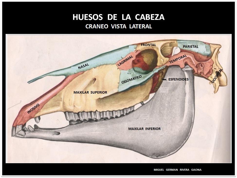 ANATOMIA DEL CABALLO | MANUAL DE COJERAS EN EQUINOS