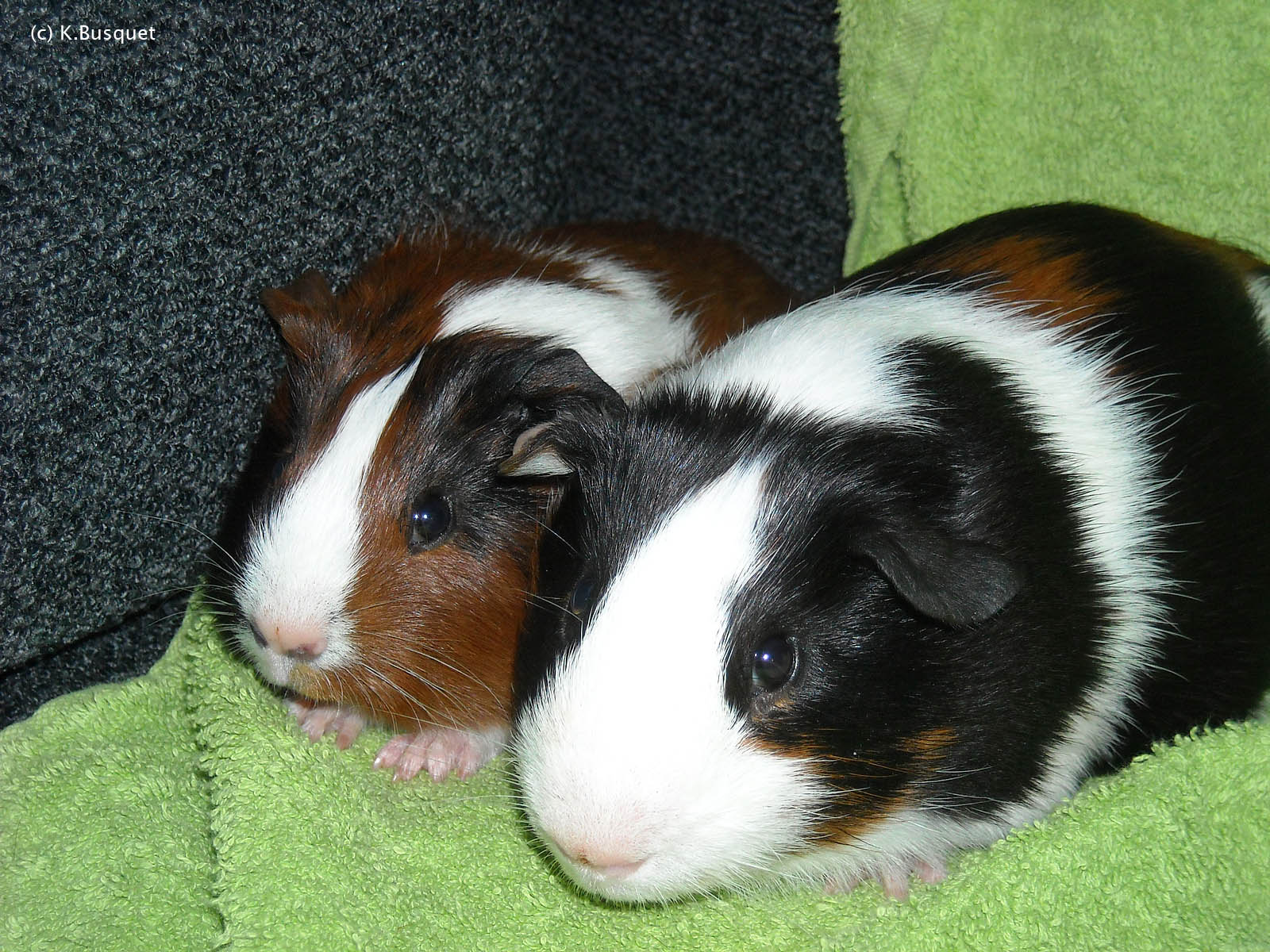 Very Sweet and Cute Animals: Funny Guinea Pig wallpaper for widescreen