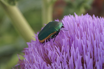 Green beetle on flowering Artichoke plant