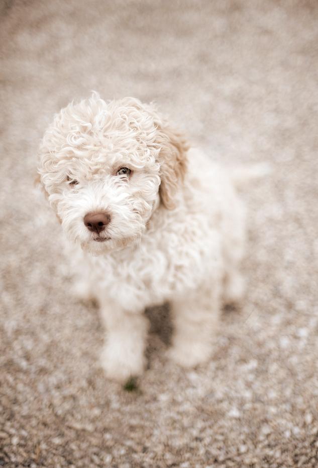 lille pudel hund