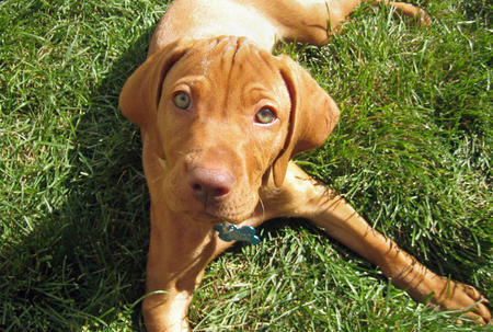 Vizsla Puppies on Vizsla Puppies Pictures And Information