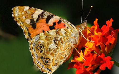 Mariposa - Butterfly - Papillon - Schmetterling