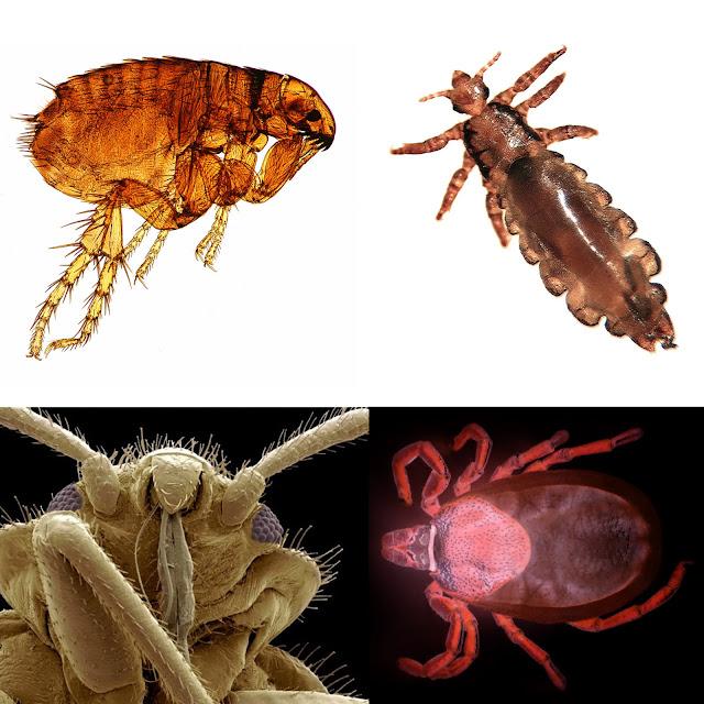 pulga, piojo, chinche, garrapata, micrografia