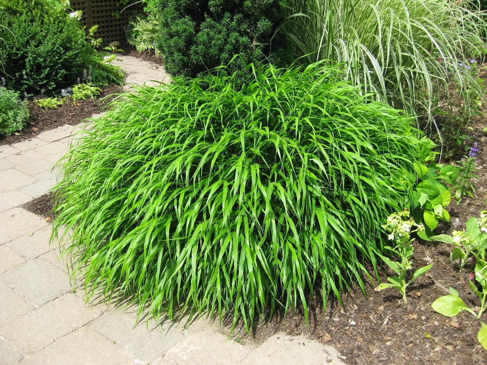 Rotary botanical gardens hort blog hakone grass a for Green ornamental grass