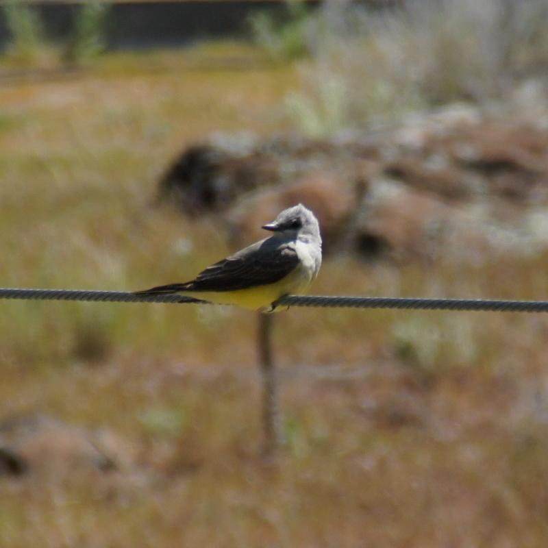 ポートランド付近の鳥達: Wester...