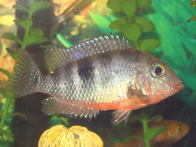 Adaptasi FISIOLOGI ikan yang hidup di air tawar dan di air laut
