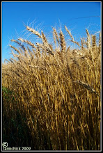 Our wheat crop.