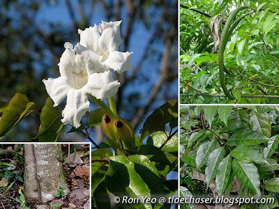 Mangrove Trumpet (Dolichandrone spathacea)
