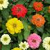 Bunga Zinnia Peruvinia Murah