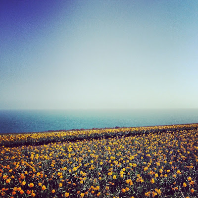 Daffodils, beach, sea, cornwall, view, sunshine, easter
