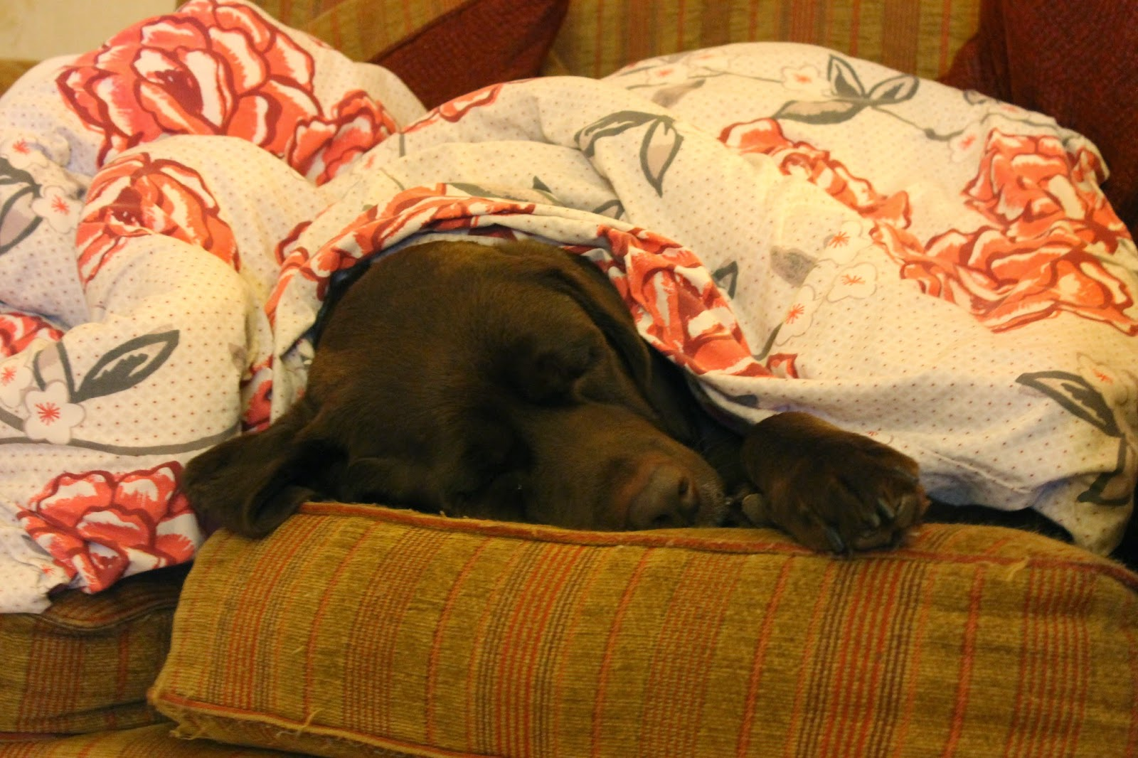 Chocolate Labrador under duvet