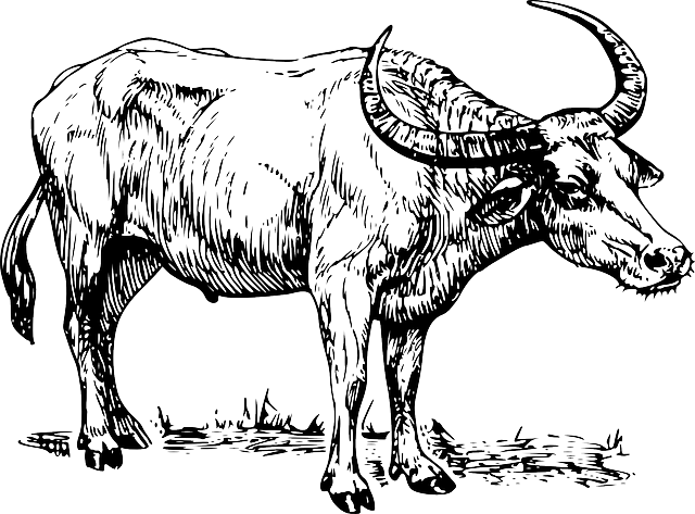 Beef Cattle Drawings Photos and Images  CrystalGraphics