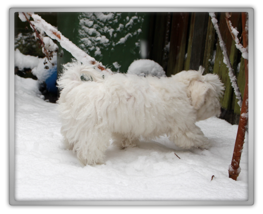 jofee jonathan saccone joly maltese dog puppy 18 weeks old 4 months cute adorable marjolein kucmer playing snow snowing first time 1