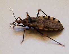 10 serangga paling berbahaya di dunia Pgeniculatus2