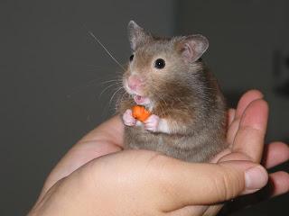 Tips Merawat Hamster yang Baru Melahirkan