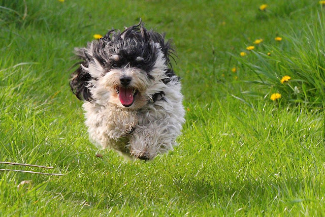 Charly, most Havanese can fly