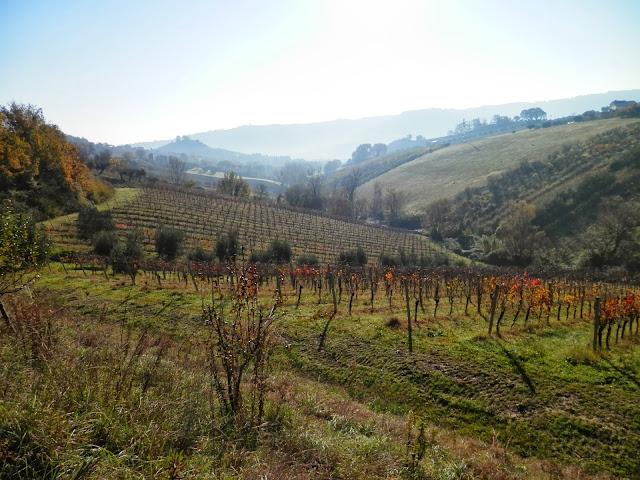 Vines, Massignano