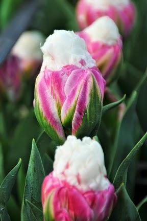 ice cream tulips flower talk. Black Bedroom Furniture Sets. Home Design Ideas