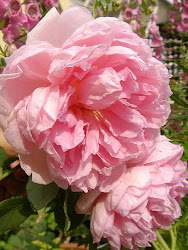 Lovely English Pink Roses