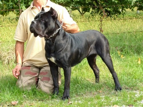 How To Clean Dogs Ears Cane Corso