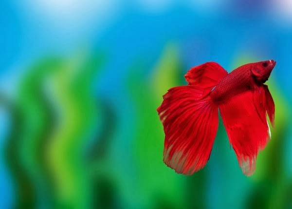 All about betta fish what betta fish like to eat for List of fish that can live with bettas