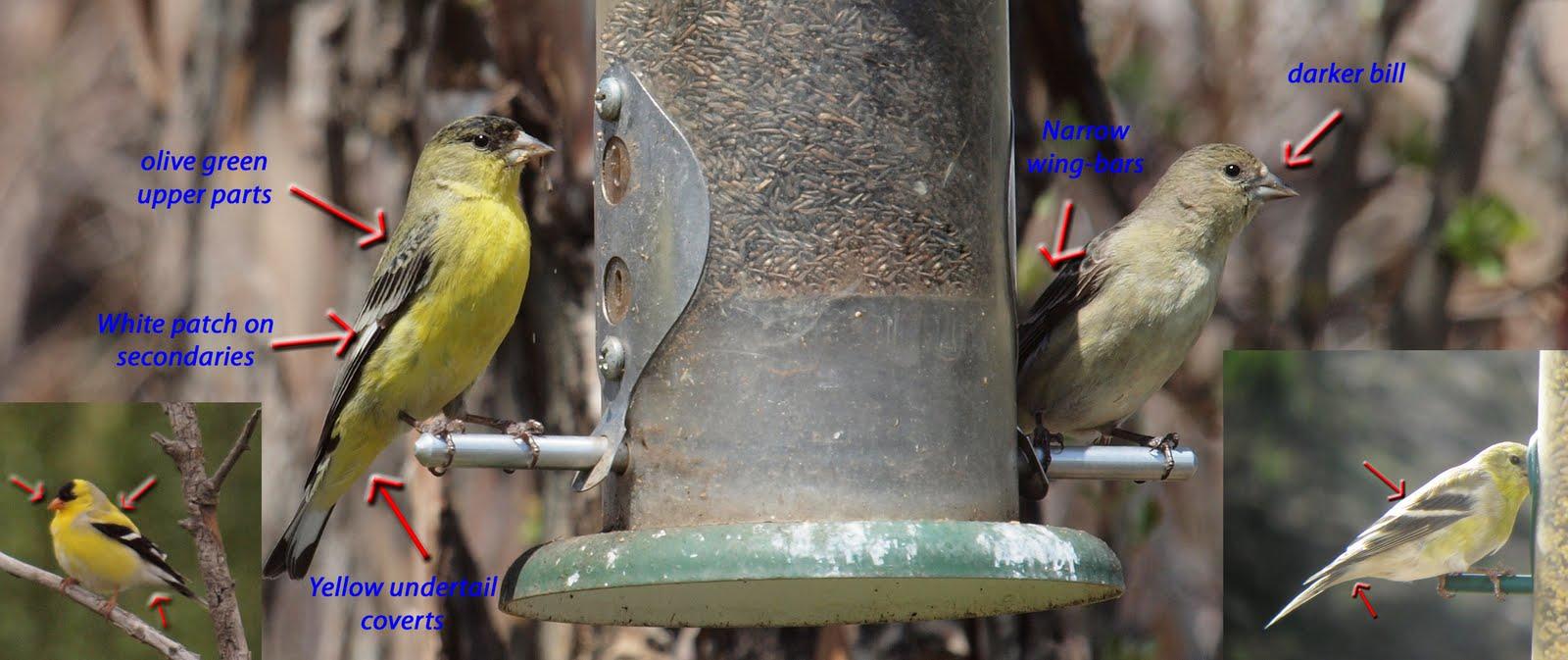 birding is fun backyard birding american vs lesser goldfinch