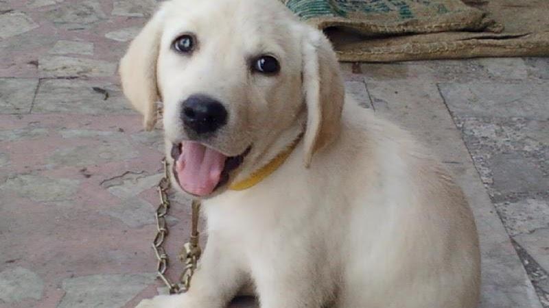 Labrador Retriever Labrador Dogs 101 Dogs Information Center