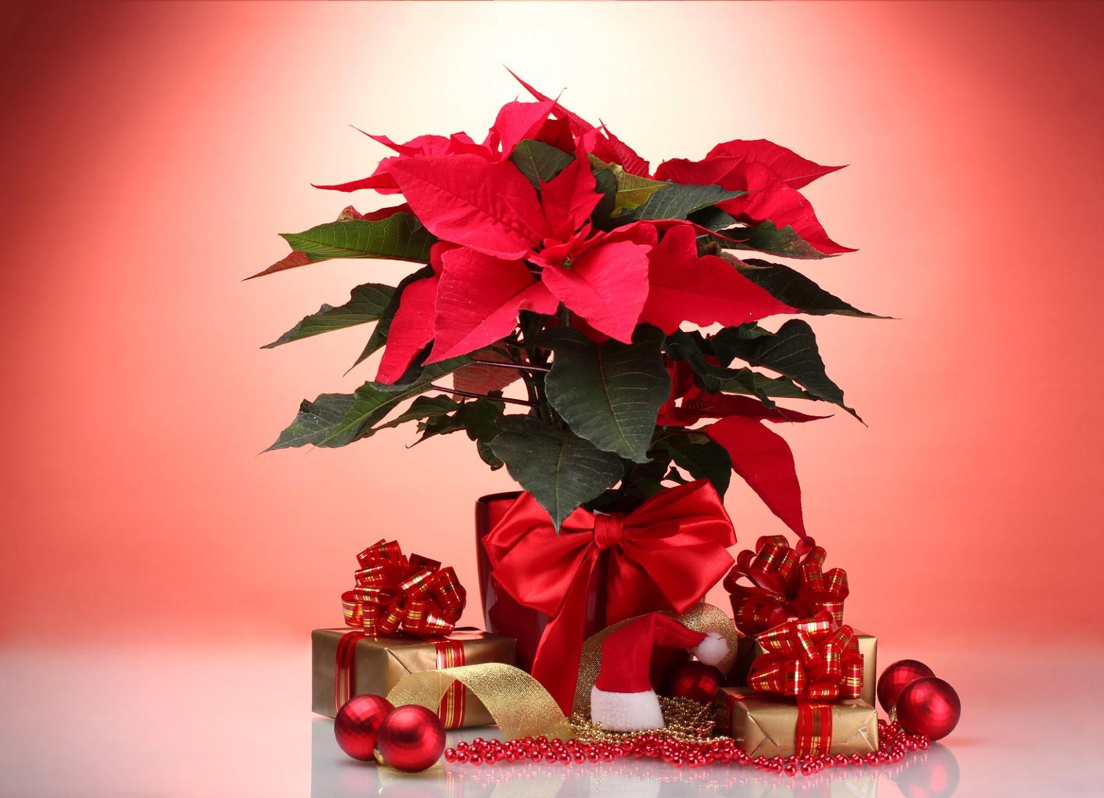 Banco de im genes 20 im genes de nochebuenas flores de - Imagenes flores de navidad ...