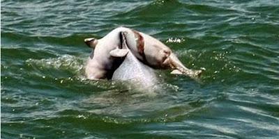Mengharukan Sekali,Induk Lumba-lumba Menggendong Anaknya yang Mati