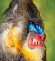 Rainbow colored face baboon angry smiling showing teeth
