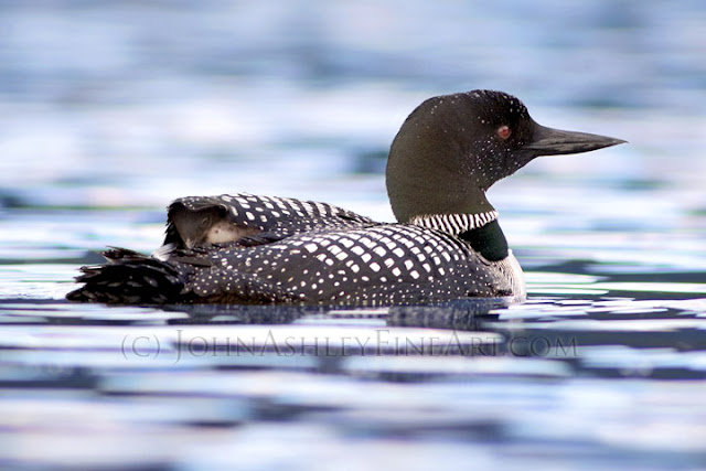 'Hungry Loon Chick' (c) John Ashley